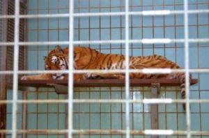 2012-08-25-tiger-zoo-c-peta-d