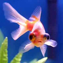 dicker_goldfisch