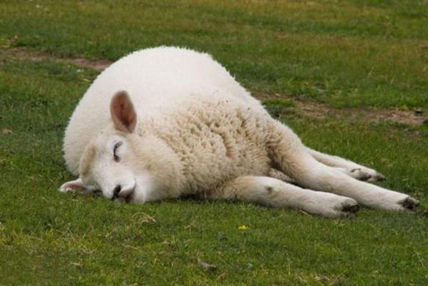 sleeping-animals-pose-11